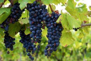 Описание и размножение винограда сорта Изабелла, посадка и уход