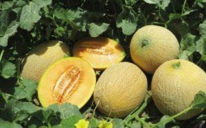Правила выращивания и ухода за дыней в Сибири в открытом грунте