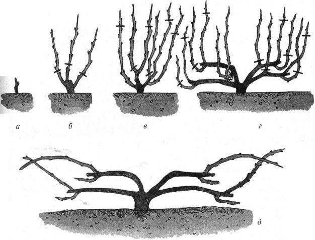схема формовки винограда