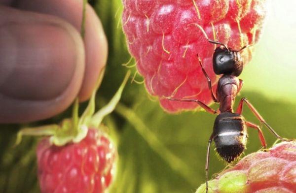 муравьи на малине
