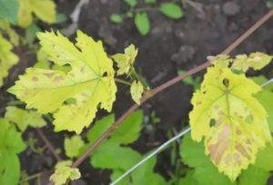Почему у винограда желтеют листья и что с этим делать, чем обработать