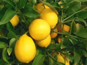 Описание лимона Мейера, выращивание и уход за сортом в домашних условиях