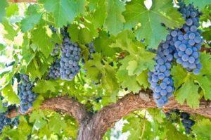 Сроки вызревания лозы винограда по сортам, как ускорить процесс и чем обработать растение