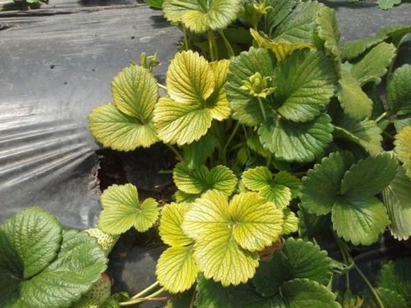 желтые листья на клубнике