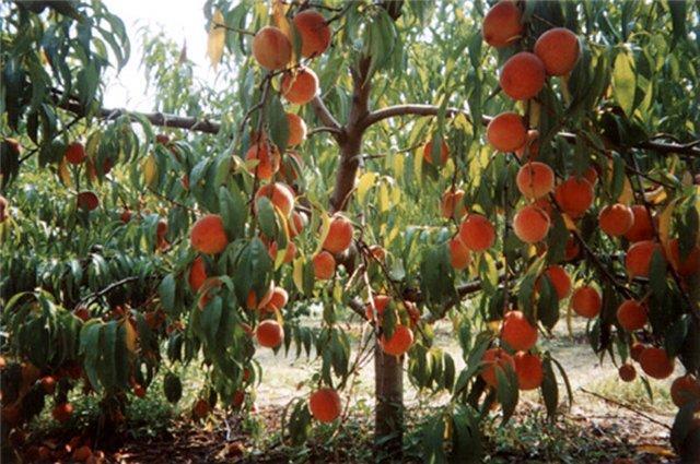 много персиков