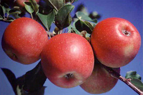 яблоня чудо рено