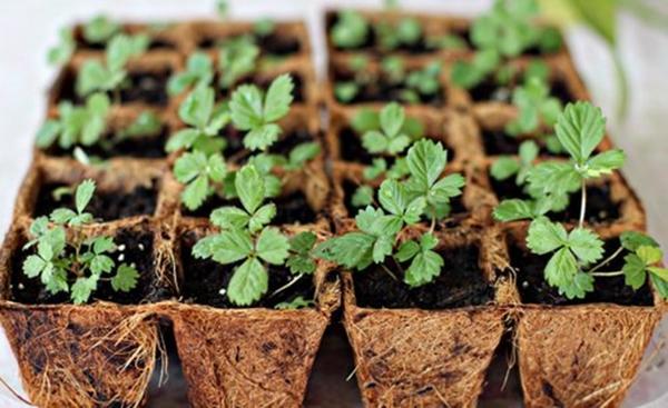 размножение клубники семенами