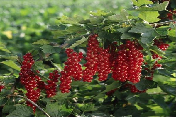 Красная смородина сорта Ровада кусты
