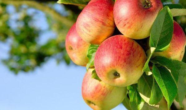 уход за яблони