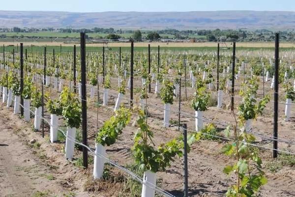 Ряды виноградника