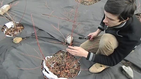 обрезка голубики