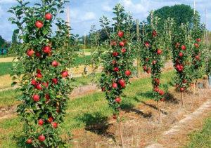 Характеристика и описание колоновидной яблони сорта Останкино, посадка и уход