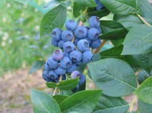 Описание и правила выращивания голубики сорта Нортланд