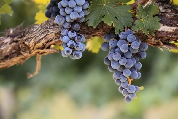 Частичное удаление ягод винограда