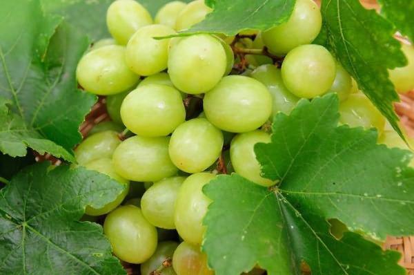 Зрелые ягоды винограда