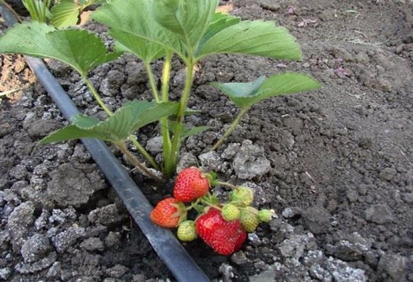 Сухая почва для клубники