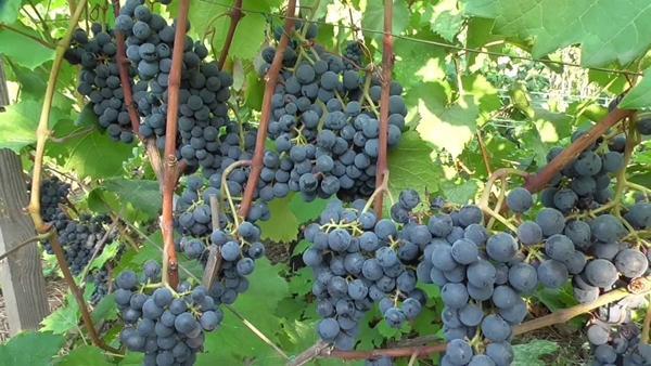 Технический сорт винограда