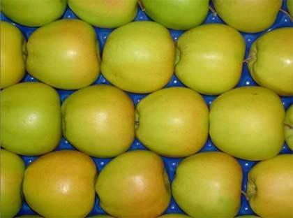 урожай яблони муцу