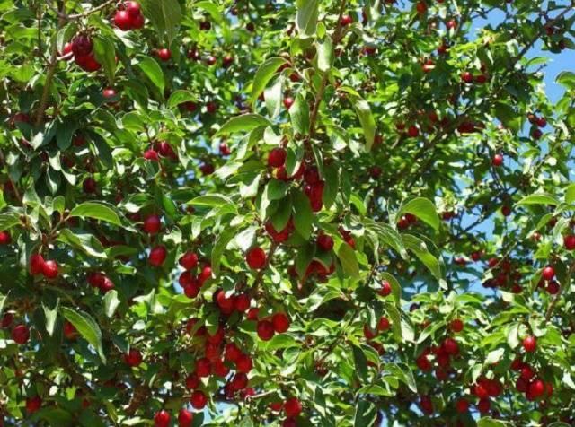 вишни в саду