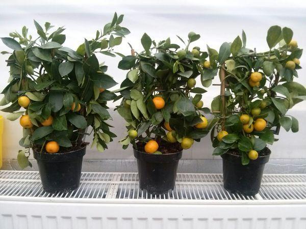 листовой грунт для лимона