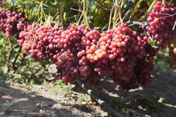 Универсальный сорт винограда