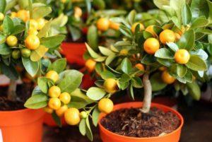 Условия выращивания мандарина в домашних условиях и правила ухода за деревом