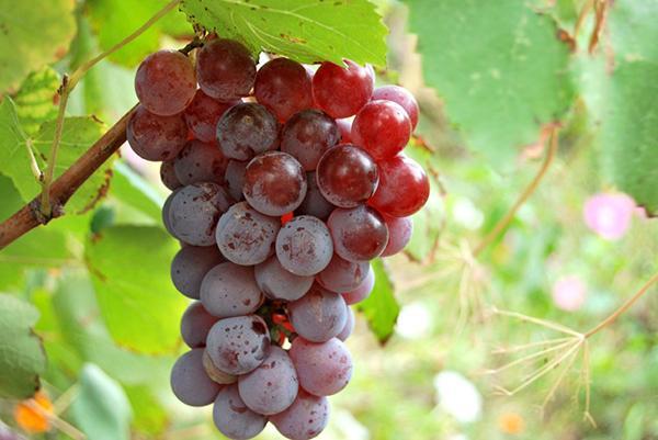 Декоративный сорт винограда
