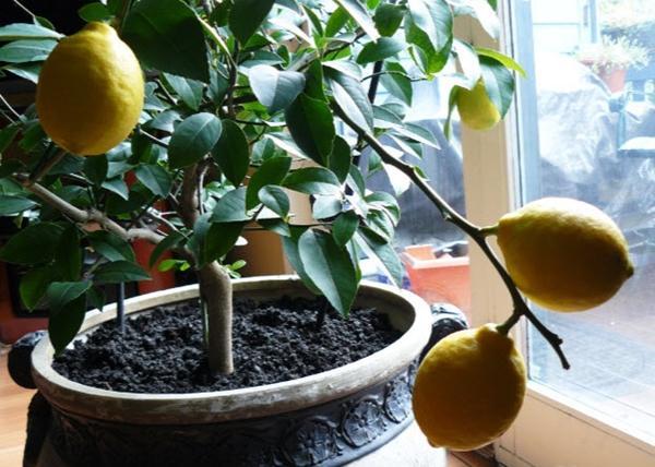 лимон майера в домашних условиях
