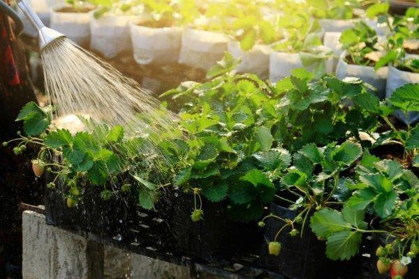 клубника мурано и её полив