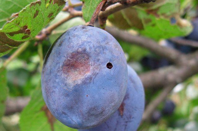 плодожорка сливы