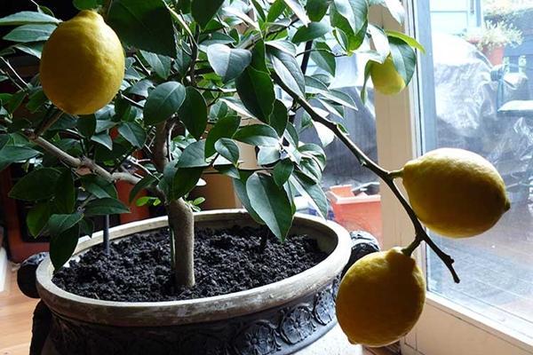 Почва для комнатного лимона