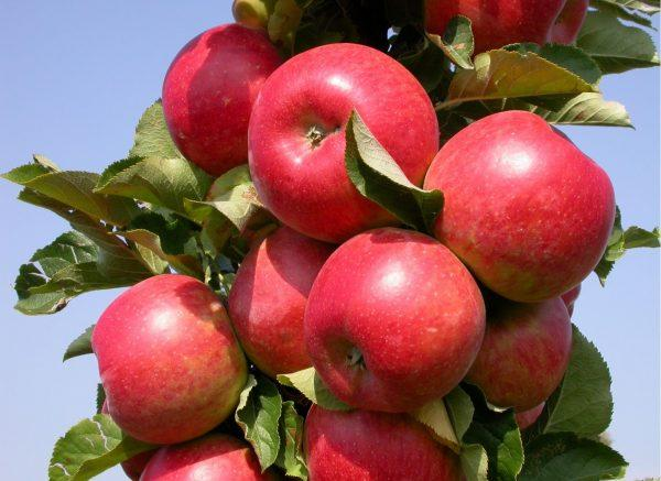 яблоня бордового цвета