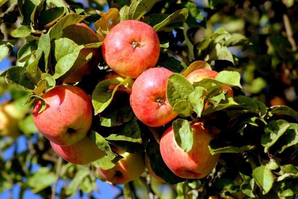 дерево яблони спас