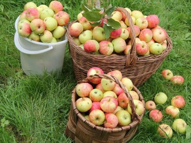 урожай яблони