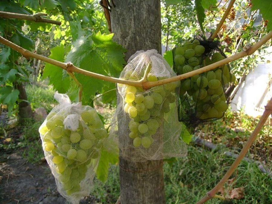 защита винограда