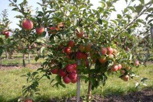 Описание и характеристики сорта яблонь Лигол, тонкости выращивания