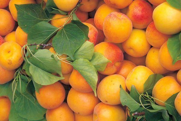 характеристика абрикоса