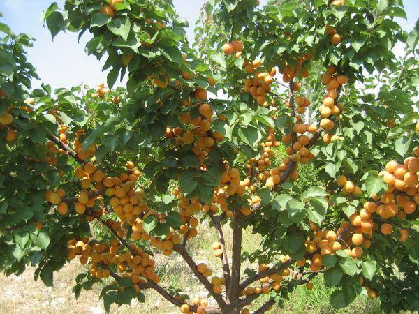 дерево абрикоса
