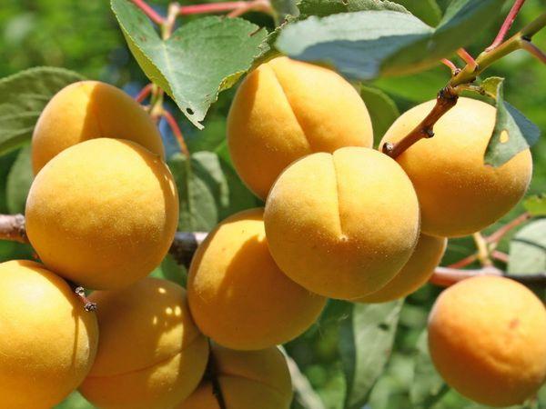 урожайность абрикоса
