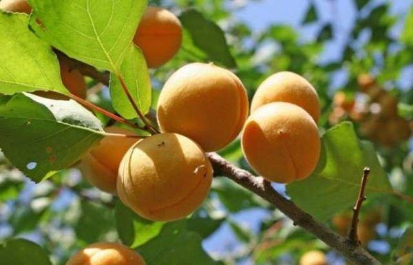 абрикосы на ветке