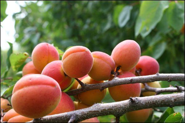 плоды водолея