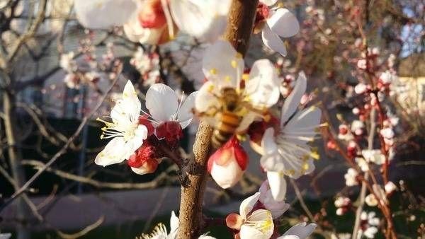 цветение абрикосов