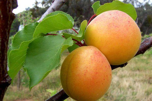 два абрикоса