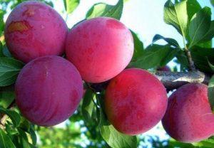 Описание и характеристики алычи сорта Найдена, технология выращивания