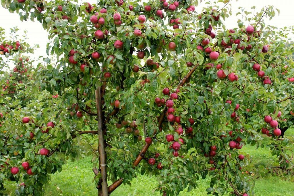 яблони сорта имруса