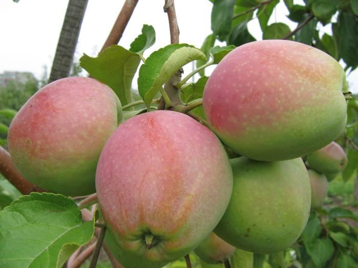 зимостойкая яблоня