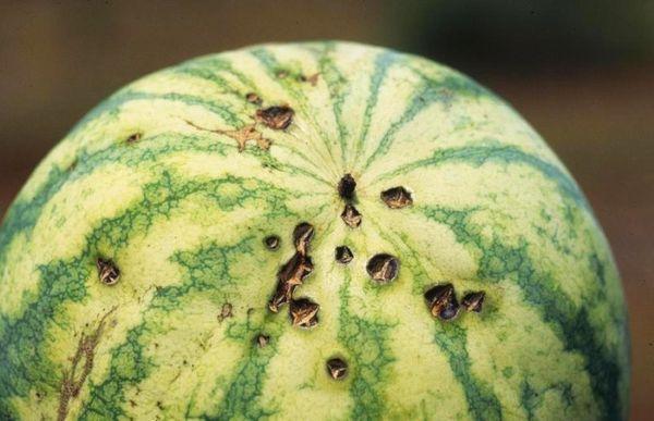бактериоз арбуза