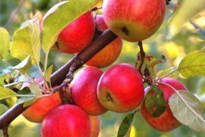 Описание и характеристики яблони сорта Орлинка, тонкости выращивания