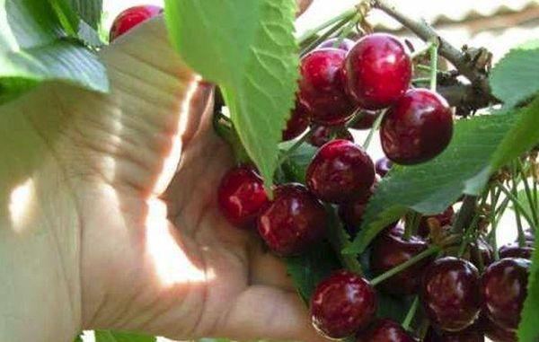 плоды черешни