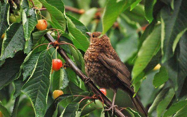 птица на черешне